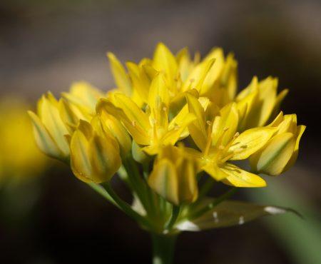 Czosnek złocisty (Allium moly)