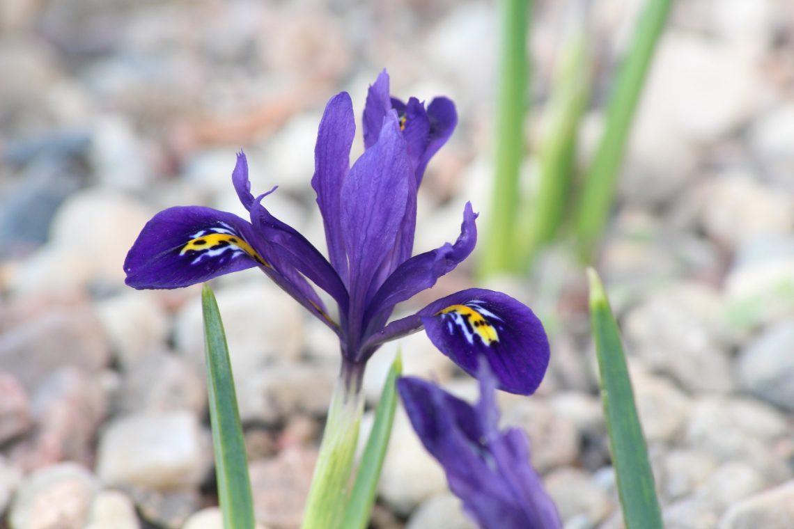 Kosaciec żyłkowany (Iris reticulata)