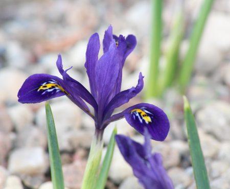 Wiosenny kosaciec: warunki uprawy i pielęgnacja