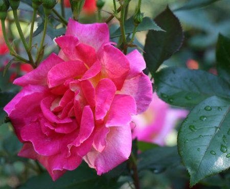 Róża (Rosa) PICCADILLY