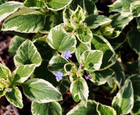 Brunnera wielkolistna (Brunnera macrophylla) 'Variegata'