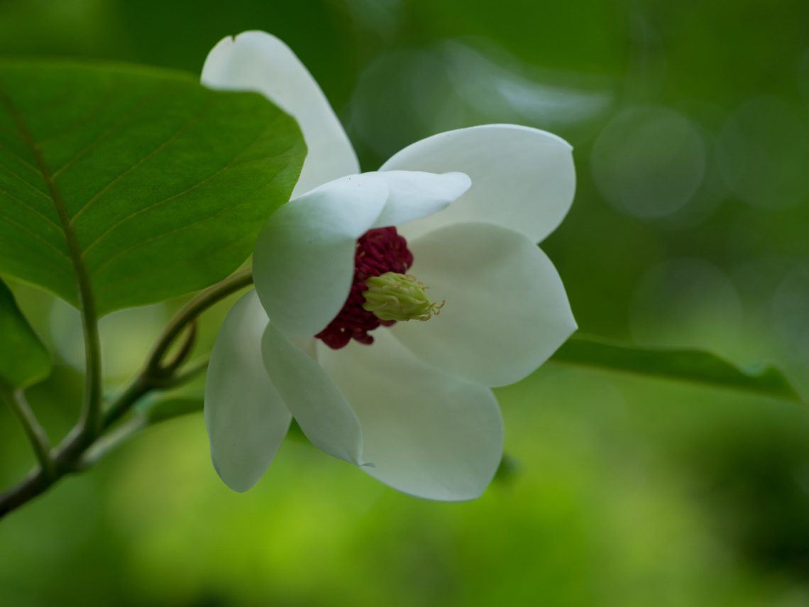 magnolia siebolda magnolia sieboldii lovely garden. Black Bedroom Furniture Sets. Home Design Ideas