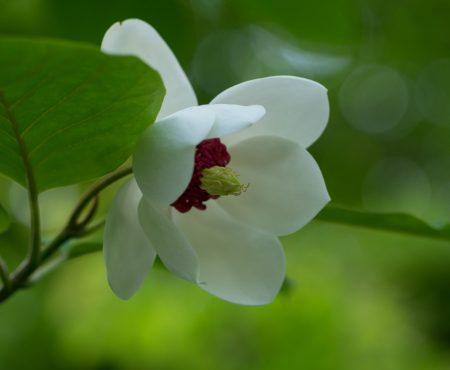 Magnolia Siebolda (Magnolia sieboldii)