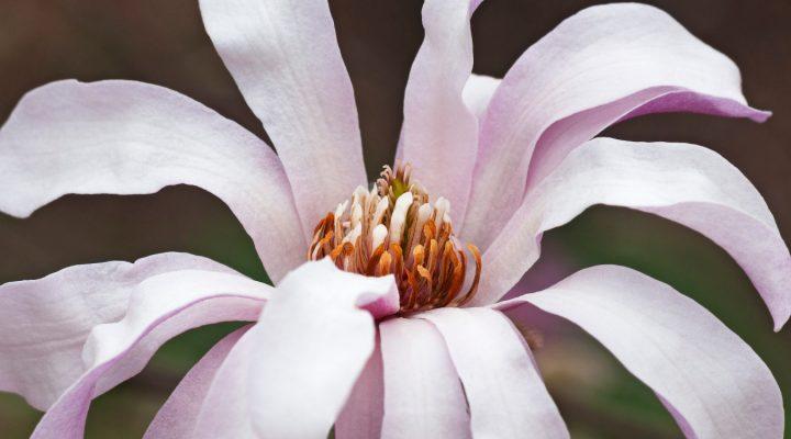 Magnolia Loebnera (Magnolia xloebneri) 'Leonard Messel'