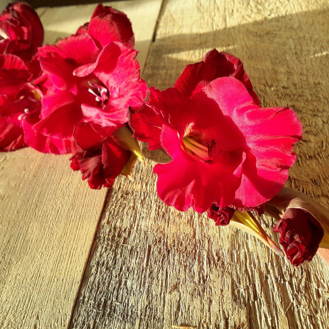 mieczyk Gladiolus