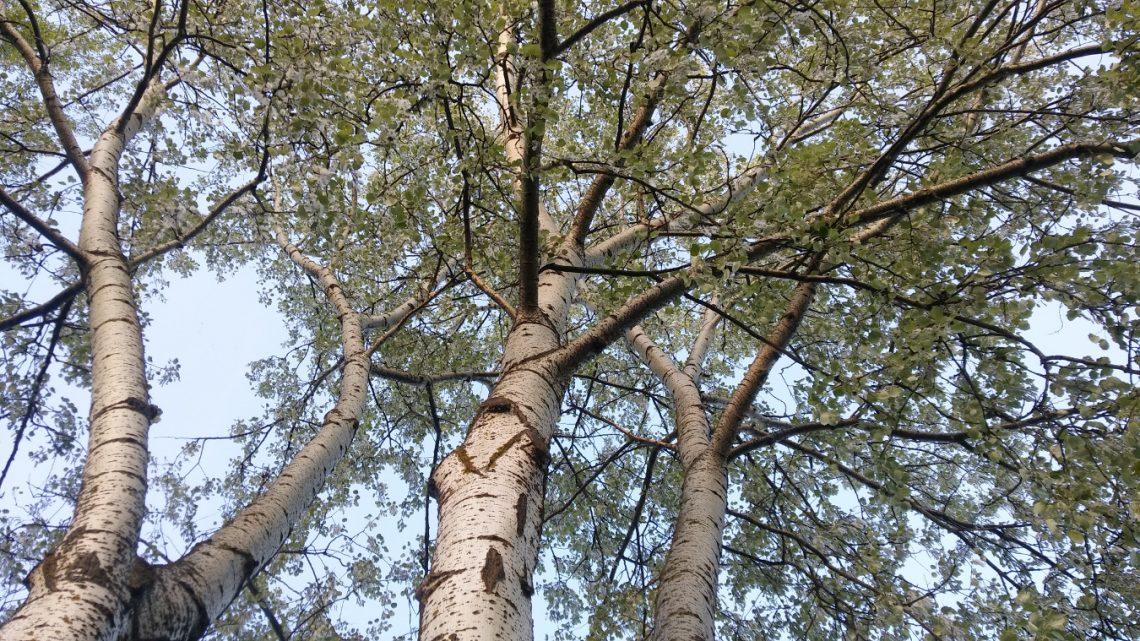 topola biała Populus alba
