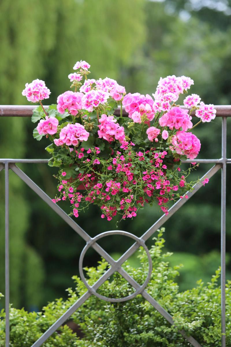 pelargonie na balkon i taras