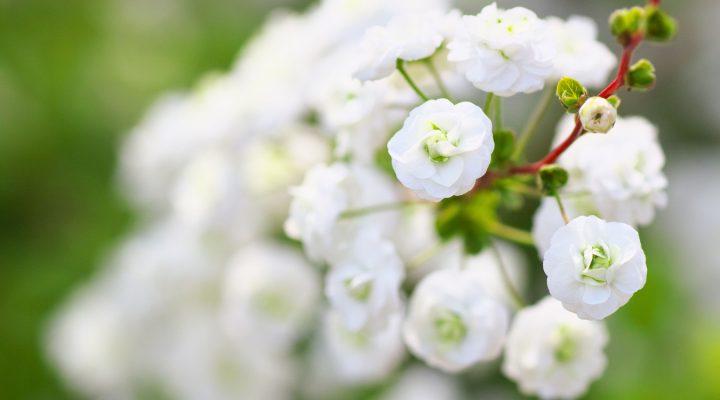 Tawuła śliwolistna (Spiraea prunifolia)