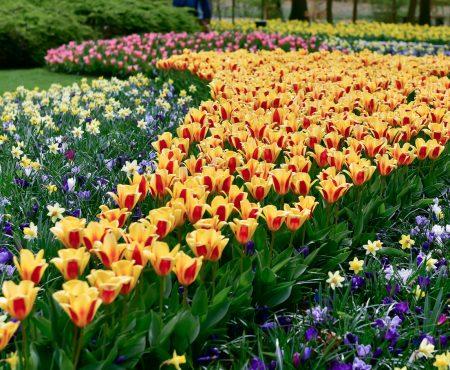 Znane ogrody: Keukenhof, królestwo tulipanów