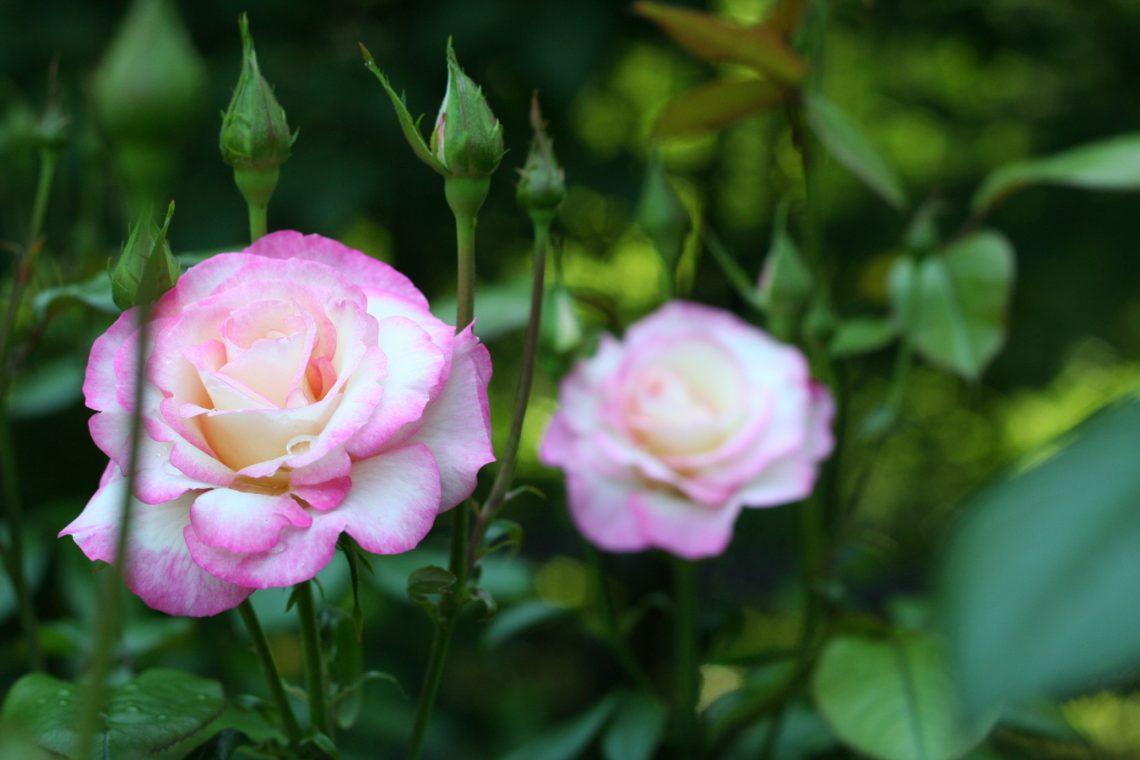róża Rosa Handel Macha