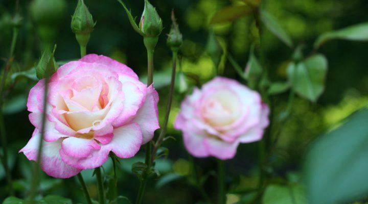 Róża (Rosa) HÄNDEL 'Macha'