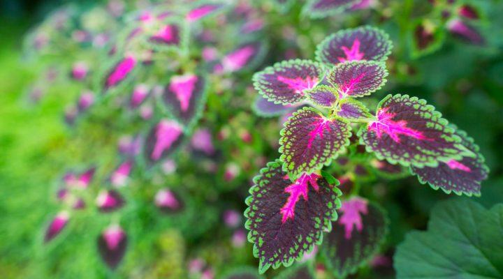 Koleus, barwne liście przez cały sezon