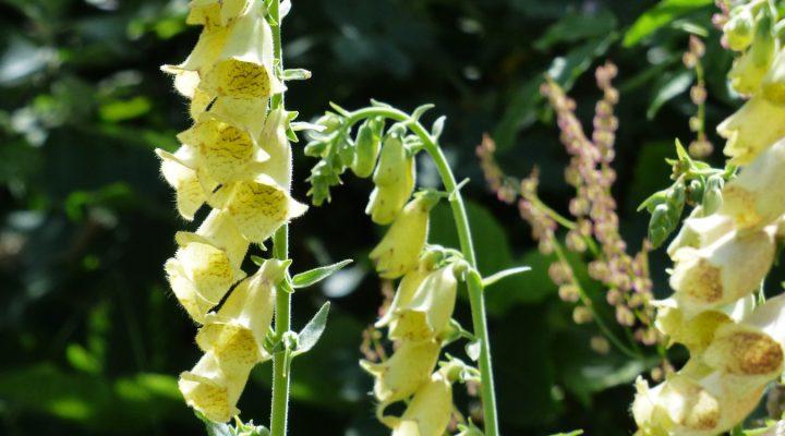 Naparstnica zwyczajna (Digitalis grandiflora)