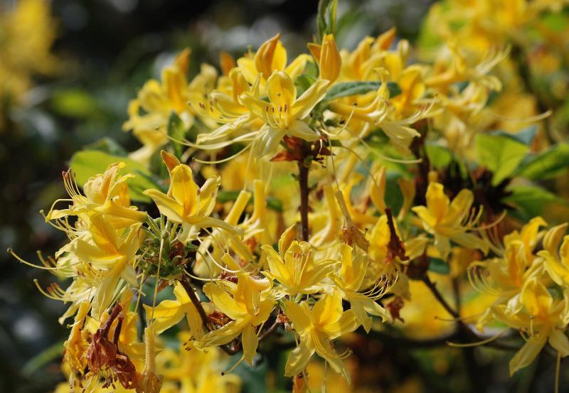 azalia Rhododendron
