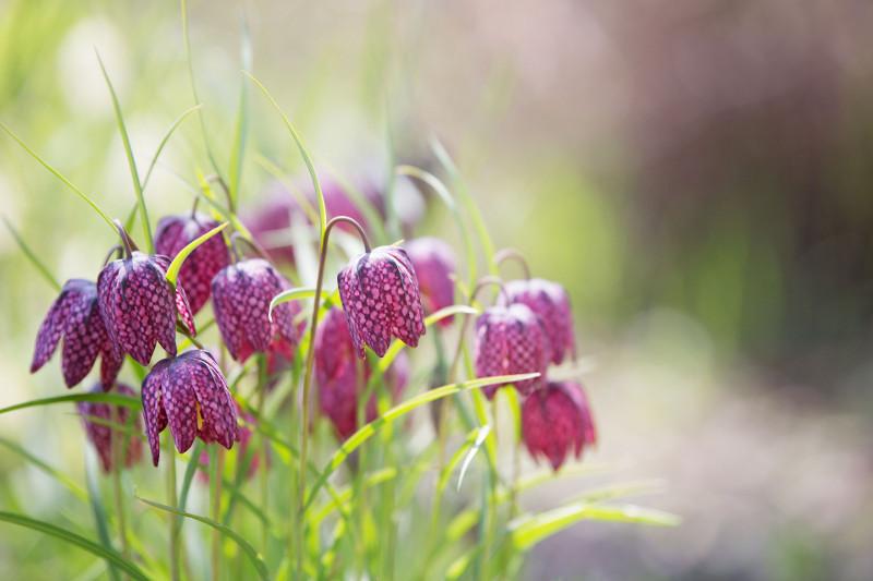 szchownica kostkowa Fritillaria meleagris
