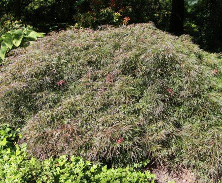 Klon palmowy (Acer palmatum) 'Dissectum'