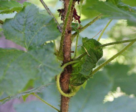 Kolcosił straszliwy (Oplopanax horridus)
