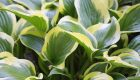 Funkia (Hosta) 'Bright Lights'