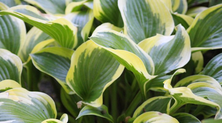 Funkia (Hosta) 'So Sweet'