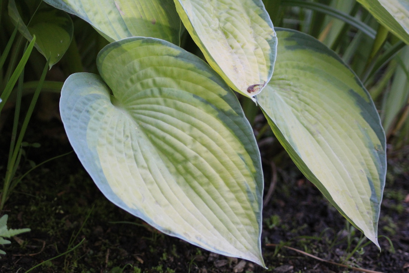 Funkia Hosta Bright Lights