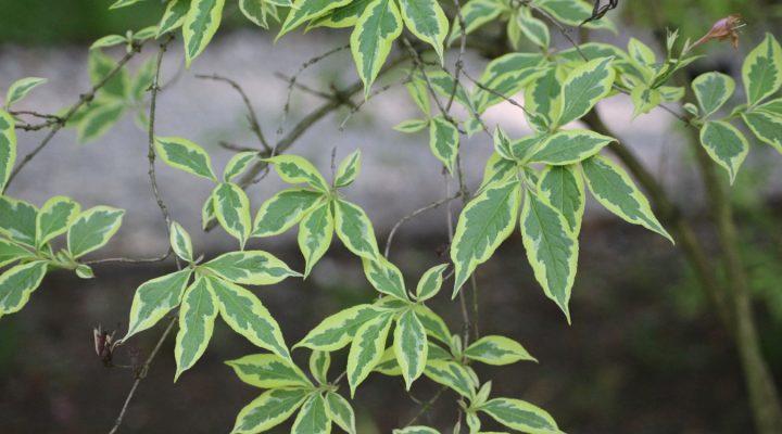 Krzewuszka cudowna (Weigela florida) 'Variegata'