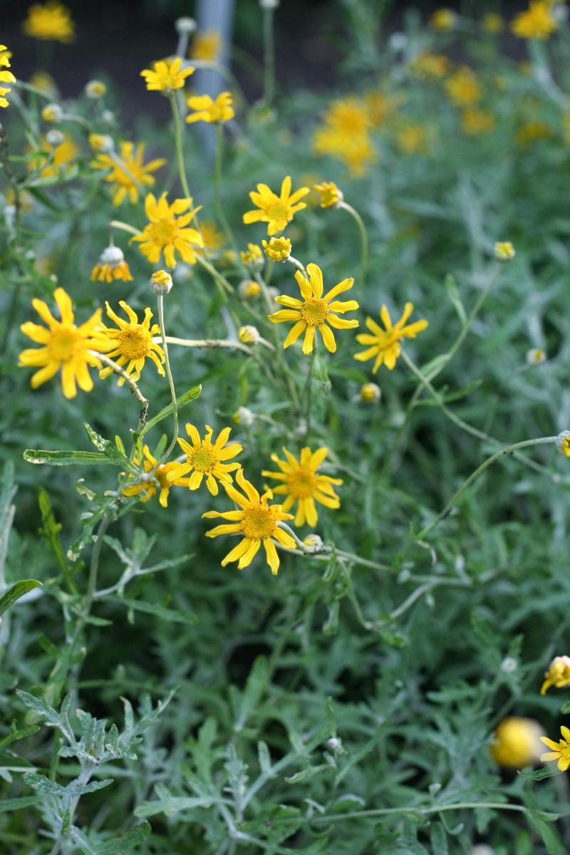 eriofil darniowy Eriophyllum lanatum