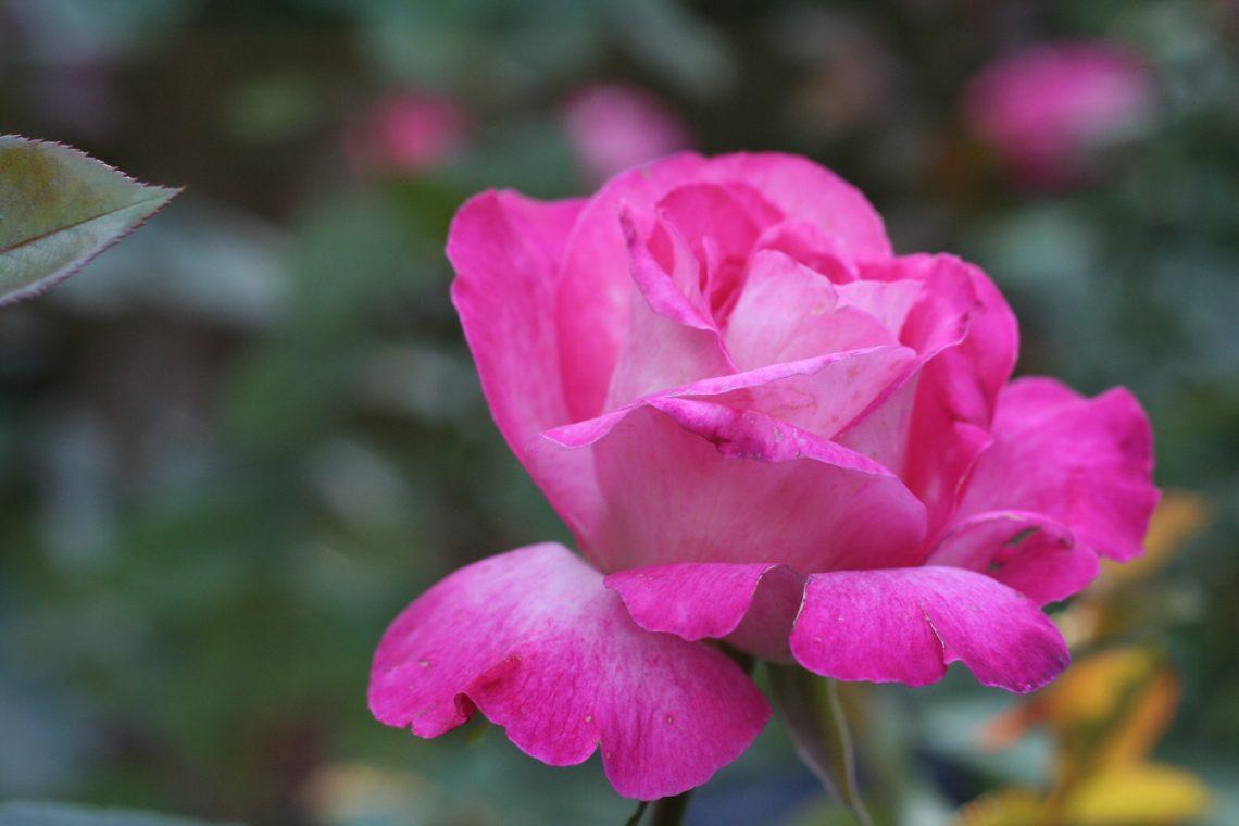 Róża (Rosa) ROSE GAUJARD