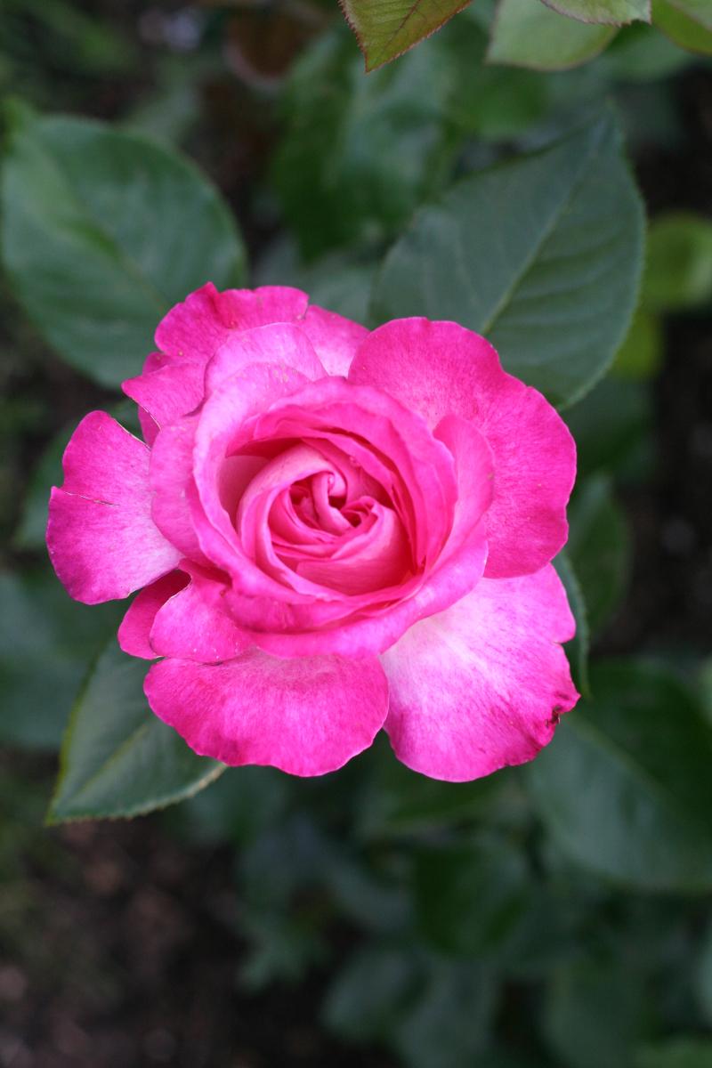Róża Rose Gaujard Gaumo