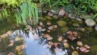 Dereń kousa (Cornus kousa var. chinensis) odm. chińska