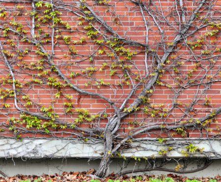 Pnącza w ogrodzie – jak je wykorzystać?