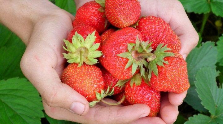 Truskawki w ogrodzie: uprawa i pielęgnacja