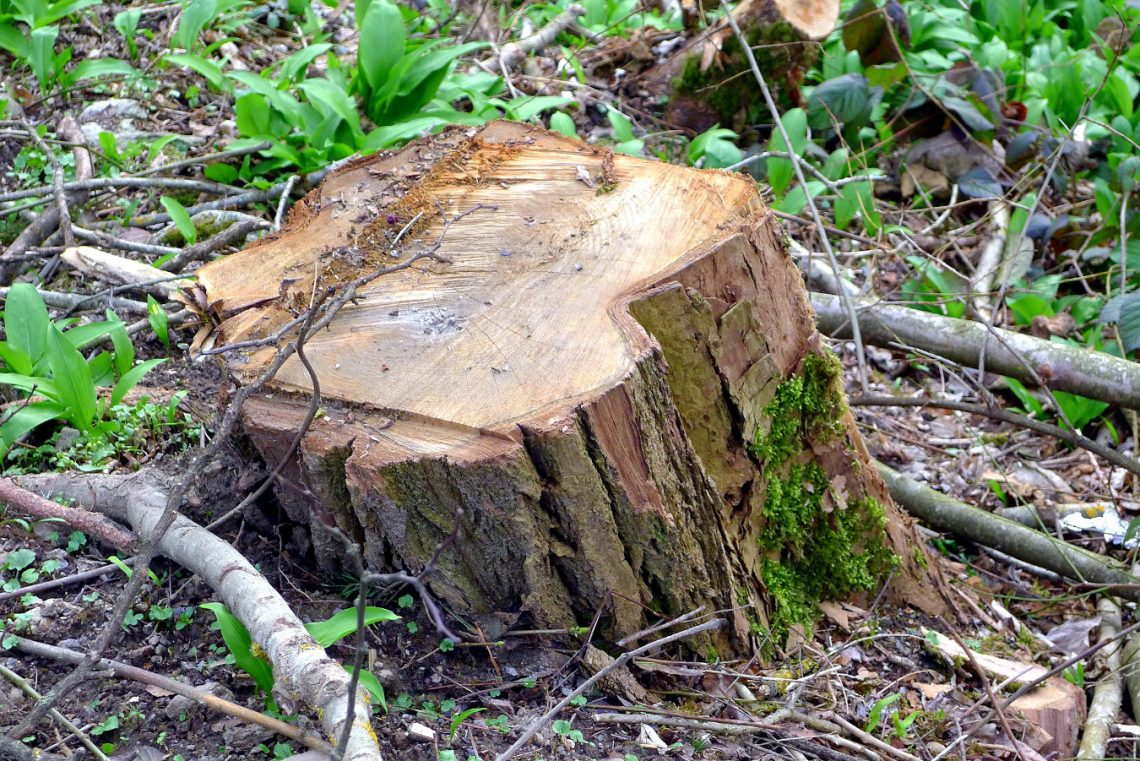 ścinać drzewo