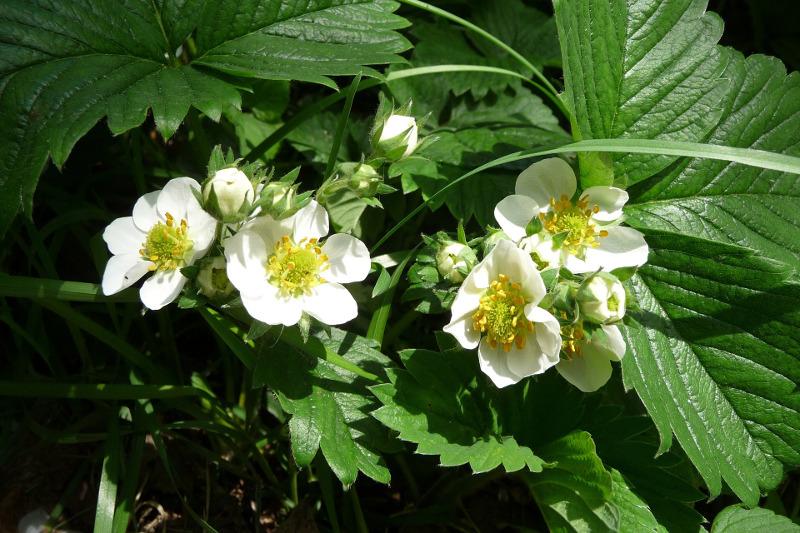truskawki w ogrodzie