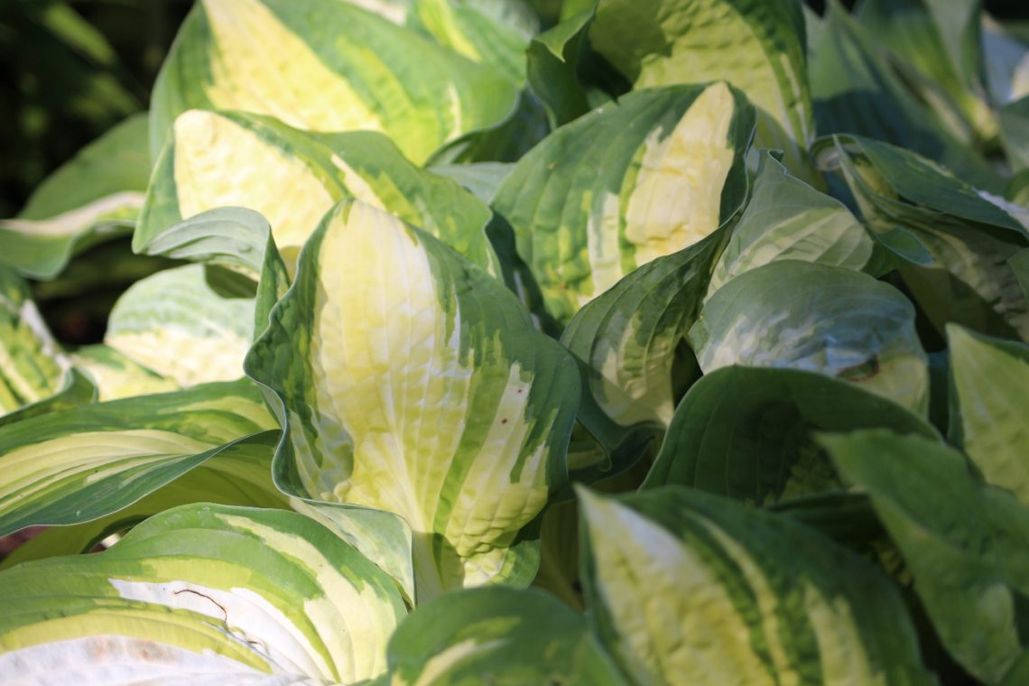 funkia hosta Reversed