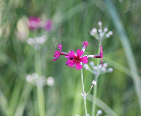 Pierwiosnek przyprószony (Primula pulverulenta)