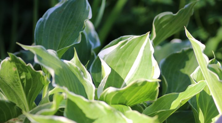 Funkia (Hosta) 'Torchlight'