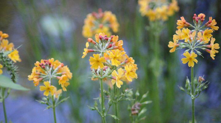 Pierwiosnek Bulleya (Primula bulleyana)