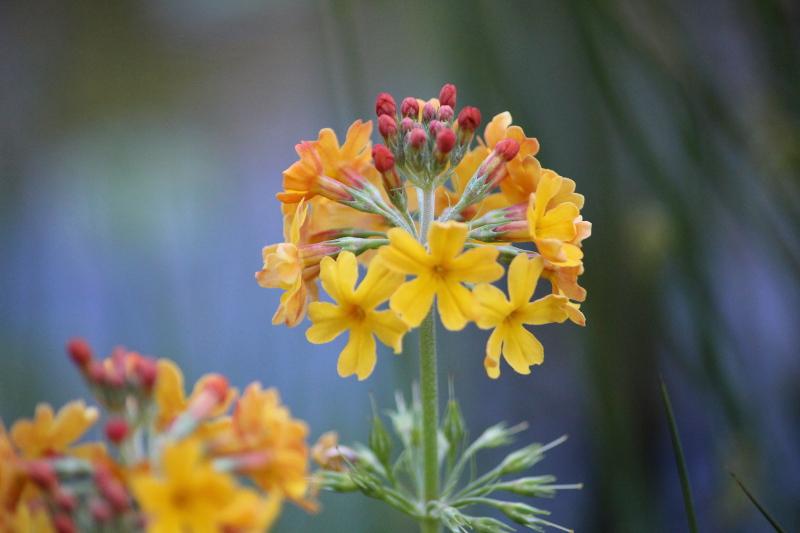 pierwiosnek Bulleya Primula bulleyana