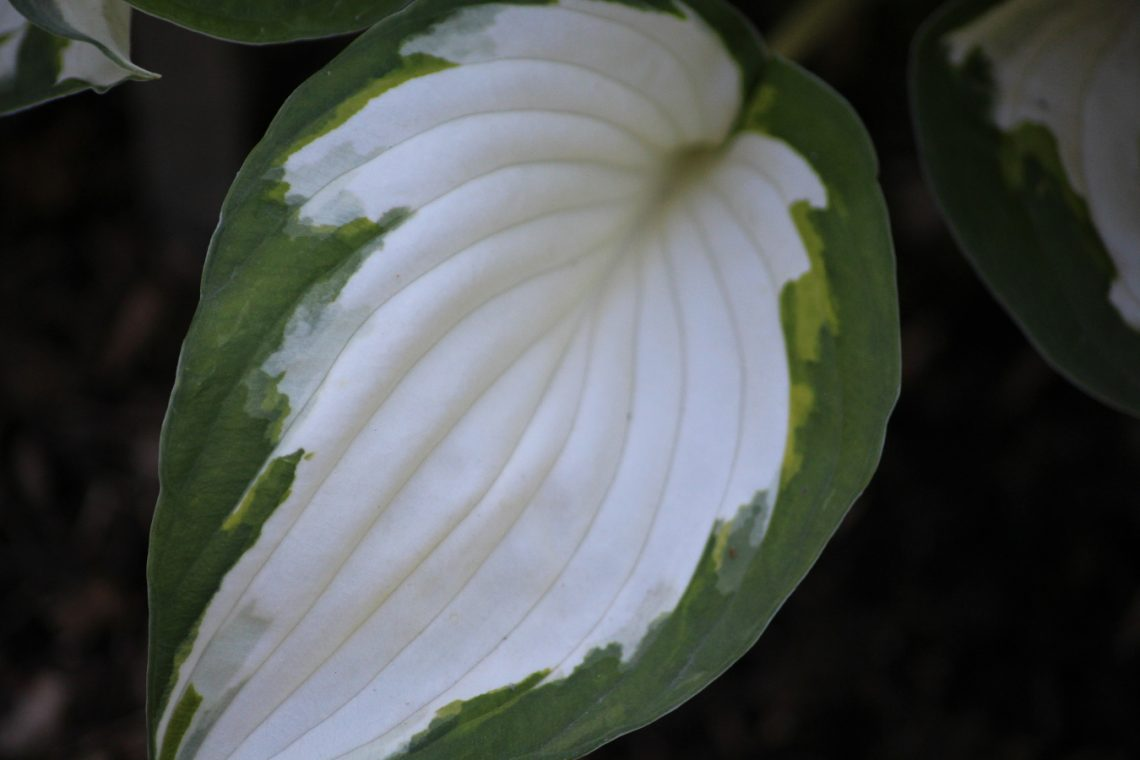 Funkia (Hosta) 'Fire and Ice'