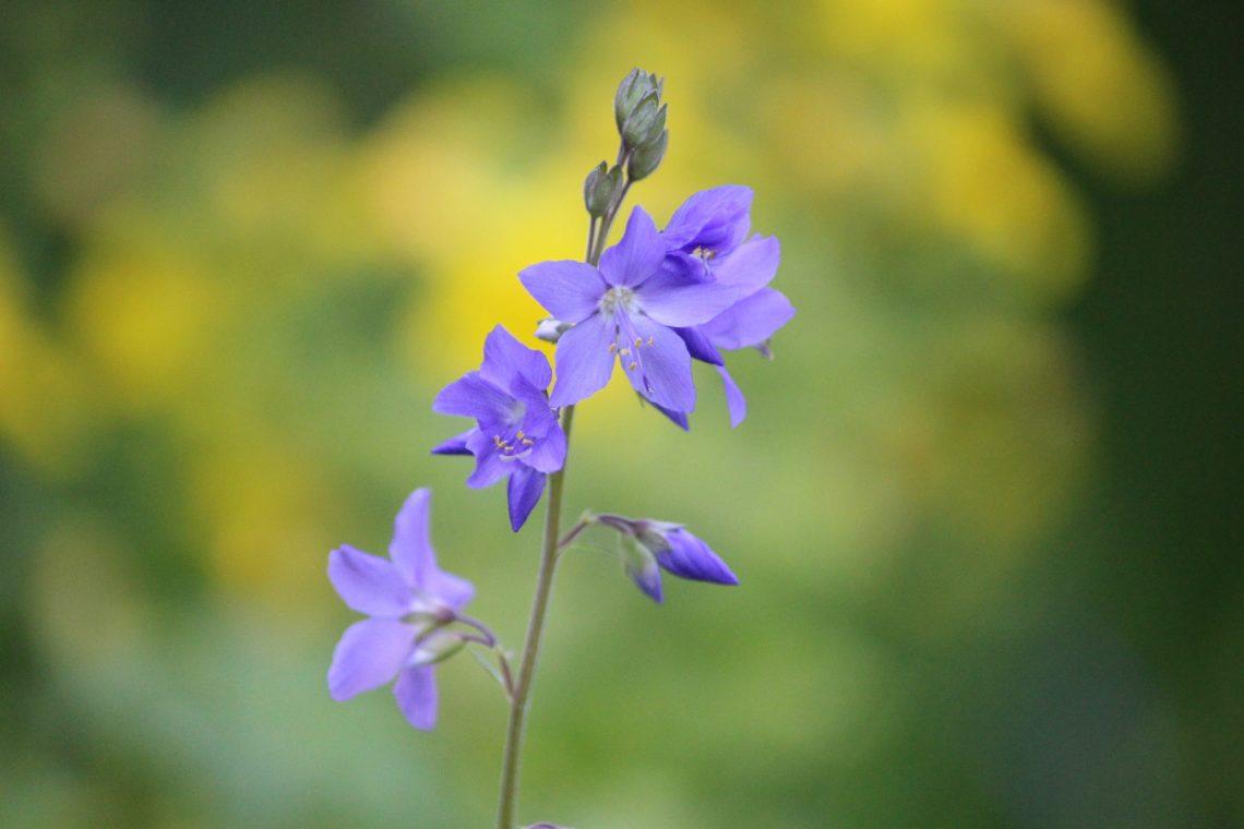 wielosił błękitny Polemonium caeruleum