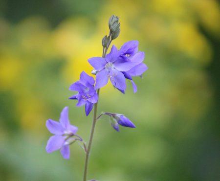 Wielosił błękitny (Polemonium caeruleum)