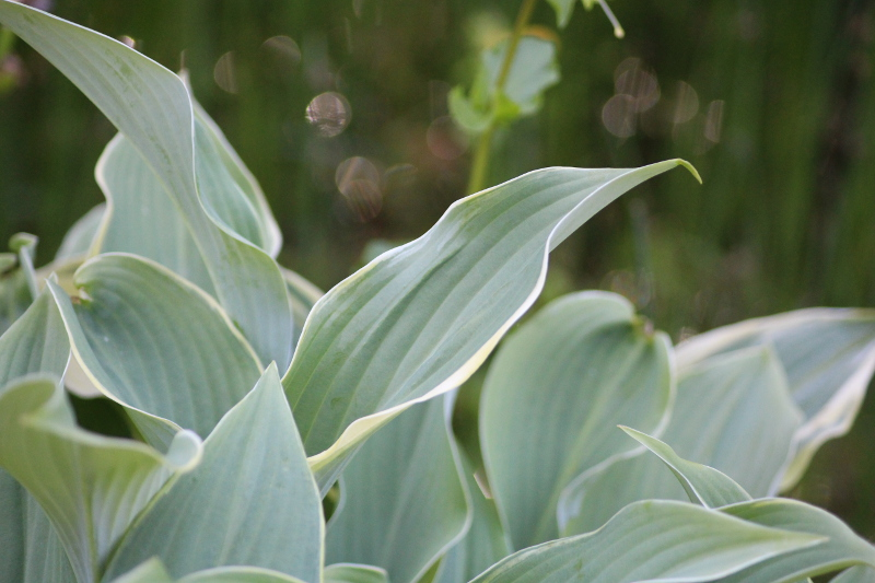 funkia Hosta Regal Splendor