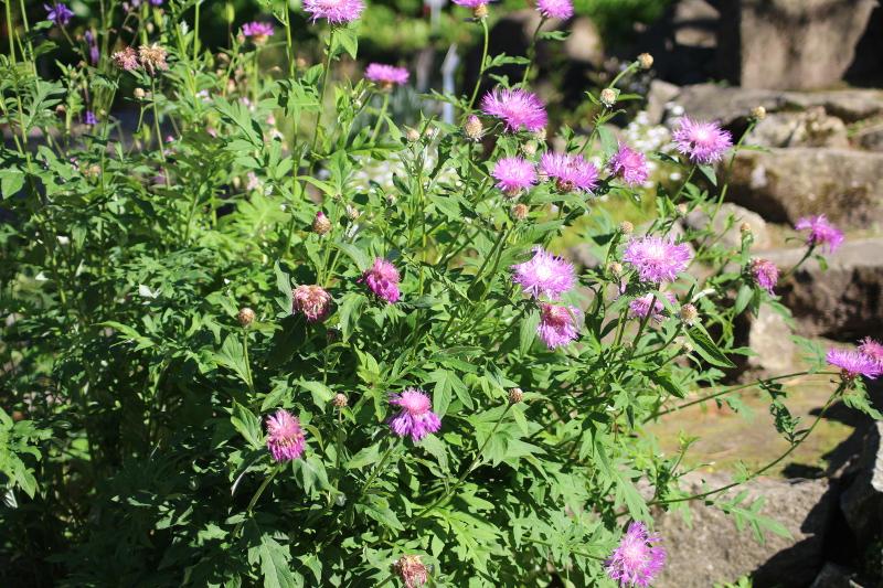 chaber piękny Centaurea pulcherrima