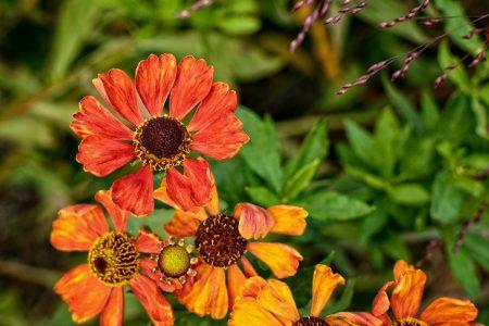 dzielżan jesienny Helenium autumnale