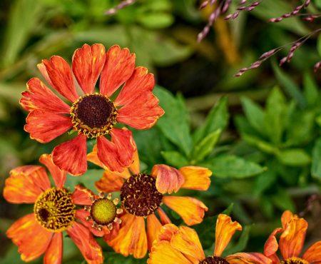 Dzielżan jesienny (Helenium autumnale)