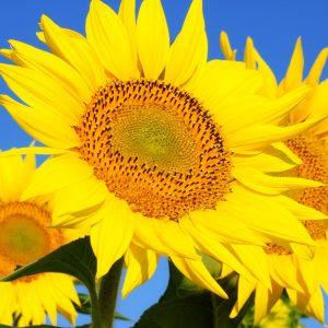 Słoneczniki – uprawa i pielęgnacja