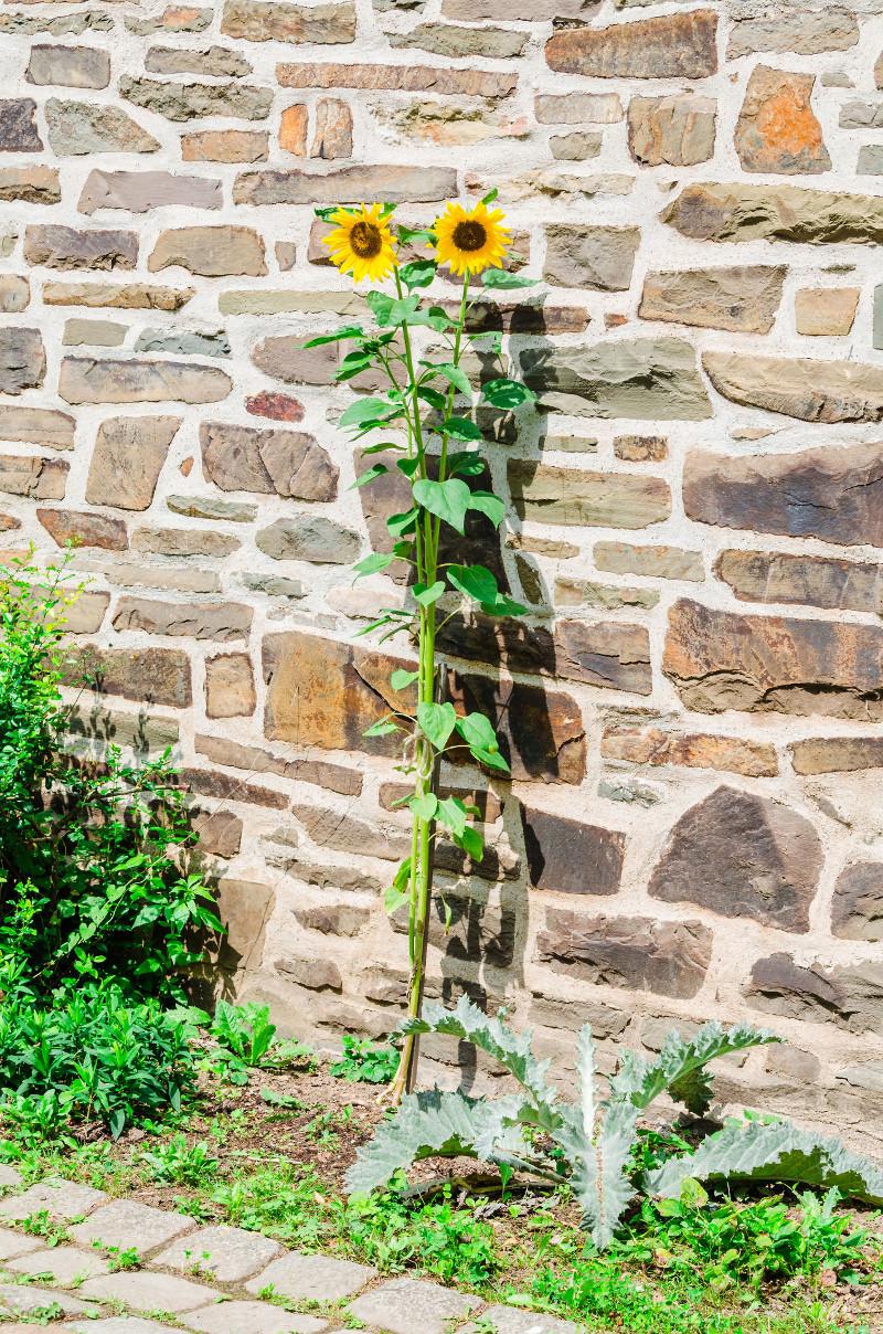 słonecznik Helianthus annus