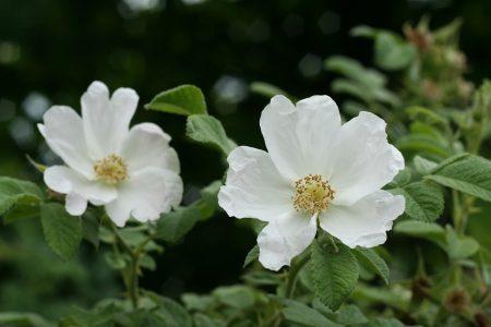 róża pomarszczona Rosa rugosa Alba