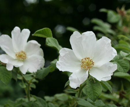 Róża pomarszczona (Rosa rugosa) 'Alba'