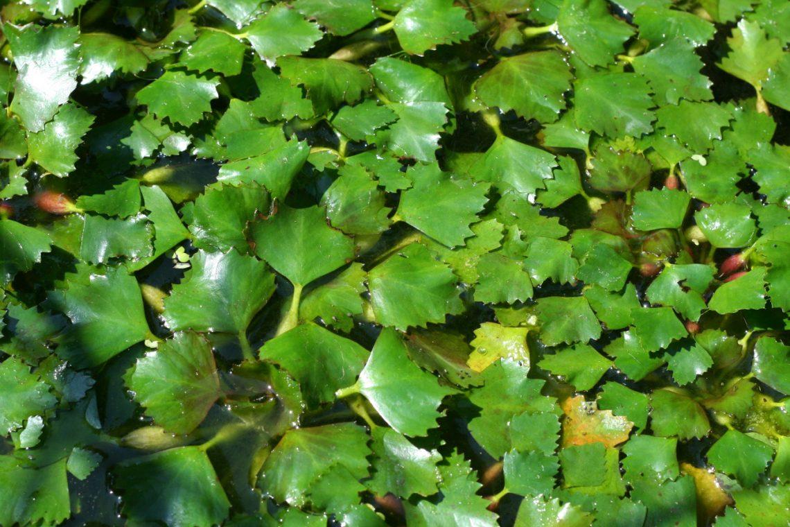 kotewka orzech wodny Trapa natans